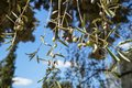 Branches of olive tree showing wilted fruits and leaves with blue sky background on sunshine day Royalty Free Stock Photo
