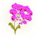 Branches orchid Phalaenopsis purple flowers tropical plants green stem and buds and leaves vintage vector