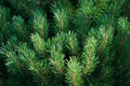 Branches of pine Pinus L. Royalty Free Stock Photo