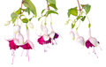 Branches pink and white fuchsia with bud isolated Royalty Free Stock Photo