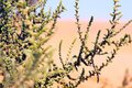 Branches of plants in the african desert