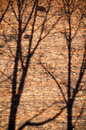 Branches shadows on the brick wall tree Royalty Free Stock Images