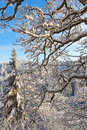 Branches With Snow In Winter W...