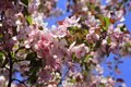 Branches of spring apple tree with beautiful pink flowers Royalty Free Stock Photo