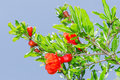 Branches of spring blossomin pomegranate sunlit red flowers Royalty Free Stock Photo