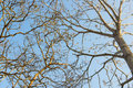 Branches of tree against blue sky Royalty Free Stock Photo