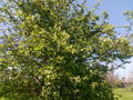 Branches of a tree with green young leaves blossoming spring Royalty Free Stock Photo