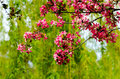 Branches and twigs of crabapple tree in full bloom. Royalty Free Stock Photo