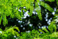 Branches of vibrant green spring leaves foreground with dark green and white light bokeh background Royalty Free Stock Photo
