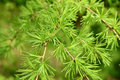 Branches with young green needles of a larch European (Larix dec