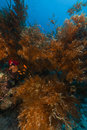 Branching black coral in the Red Sea. Stock Photos