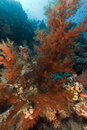 Branching black coral and tropical reef in the Red Sea. Stock Photos