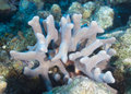 Branching Finger Coral Royalty Free Stock Photo