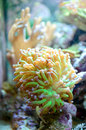 Branching hammer coral euphyllia parancora Royalty Free Stock Photography
