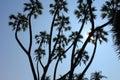 Branching Palm Royalty Free Stock Photo
