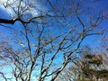 Branching tree blue sky and big Royalty Free Stock Photo