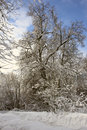 Branching tree covered with snow Royalty Free Stock Images