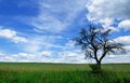 Branchy dead tree against a picturesque cloudy sky summer landscape with in the green meadow on perfect sunny day Stock Photos