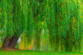 Branchy green old willow hanging over lake the Stock Photography