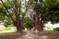 Branchy trees and a path through them, Trinidad, Sancti Spiritus, Cuba. Copy space for text. Royalty Free Stock Photo
