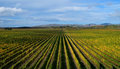 Brancott vineyard in blenheim, new zealand Royalty Free Stock Photo