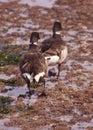 Brant Geese pair wading in tide pool