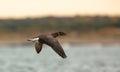Brant Goose in flight Royalty Free Stock Photo