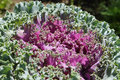 Brassica oleracea ornamental kale var acephala Royalty Free Stock Photography