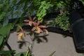 Brassolaelia Richard Mueller Orchid Royalty Free Stock Photo