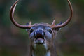 Braying buck calling bark barking howling male deer horns snorting snort grunting grunt Stock Image