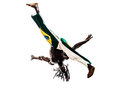 Brazilian black man dancer dancing capoiera one on white background Stock Images