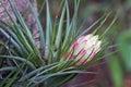 Brazilian bromeliad Tillandsia stricta nivea in the forest Royalty Free Stock Photo