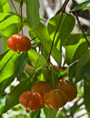 Brazilian Cherry (Pitanga) on Tree Royalty Free Stock Image
