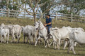 Brazilian cowboy with cows drives in an arid enviroment Stock Photos