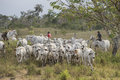 Brazilian cowboys with cows drive in an arid enviroment Royalty Free Stock Photo