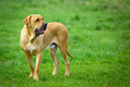 Brazilian mastiff or fila brasileiro dog at the park Royalty Free Stock Image
