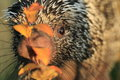 Brazilian porcupine Royalty Free Stock Photo