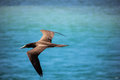 Brazilian seabird Booby Royalty Free Stock Photo