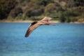 Brazilian seabird Booby Royalty Free Stock Photo