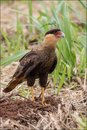 Brazilian sparrow hawk resting on plantation in brazil Royalty Free Stock Photos