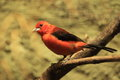 Brazilian tanager Royalty Free Stock Photography