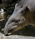 Brazilian tapir or south american latin name tapirus terrestris Royalty Free Stock Photography
