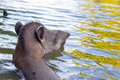 Brazilian Tapir Swimming Royalty Free Stock Photo