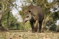 Brazilian tapir, Tapirus terrestris, Royalty Free Stock Photo