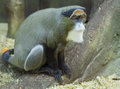 The Brazza Monkey Royalty Free Stock Photo