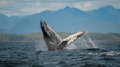 Breaching Humpback Whale, Vancouver Island, Canada Royalty Free Stock Photo
