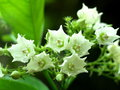 Bread flower group of white tiny soft vallaris globra ktze white fragrant aromatic exotic tropical tropical Stock Photo