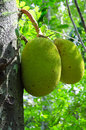 Breadfruit (Artocarpus altilis) Royalty Free Stock Photo