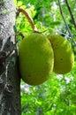 Breadfruit (Artocarpus altilis) Royalty Free Stock Photo