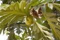 Breadfruit artocarpus altilis tree with the fruit Royalty Free Stock Photography